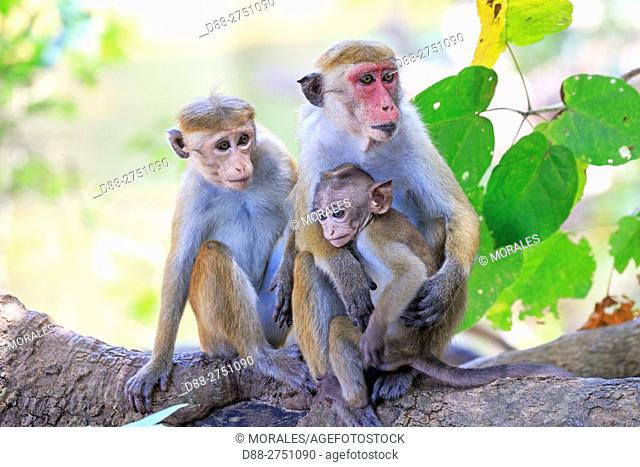 Sri Lanka, Yala national patk, Toque macaque (Macaca sinica)
