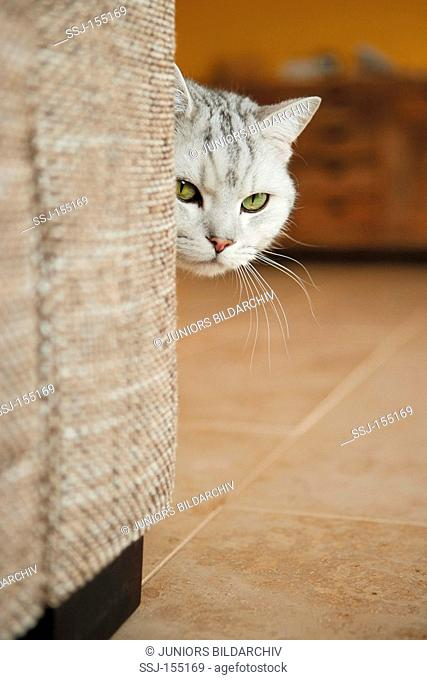 British Shorthair cat behind sofa - portrait