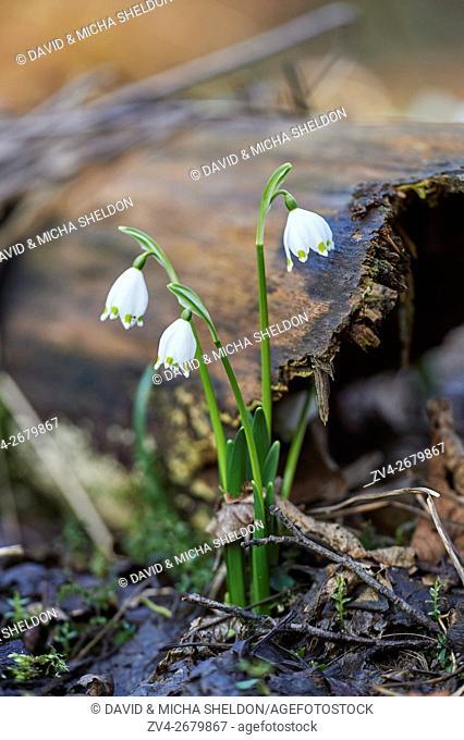 Close-up of spring snowflake (Leucojum vernum) blooming in spring