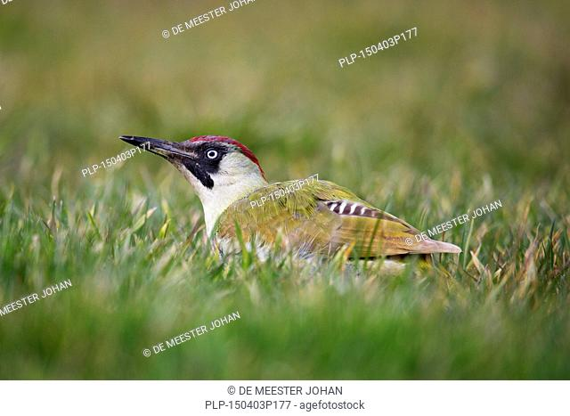 European green woodpecker (Picus viridis) female looking for ants in grassland