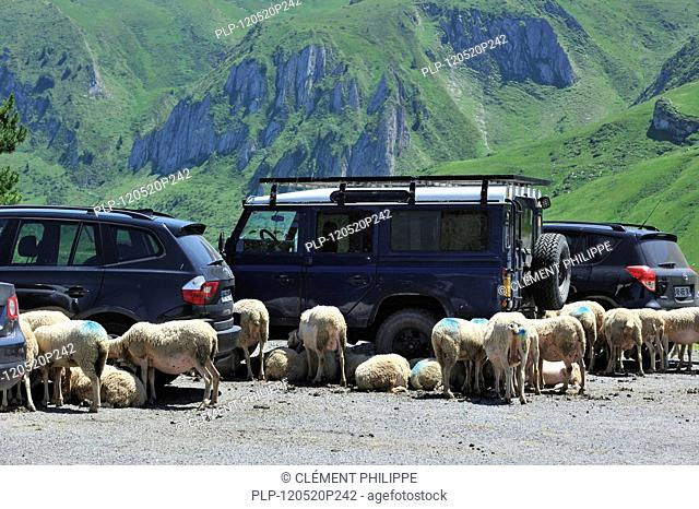 Flock of sheep seeking shadow behind vehicles on car park at the Col du Soulor, Hautes-Pyrénées, Pyrenees, France