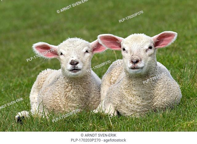 Two white lambs of domestic sheep lying side by side in meadow
