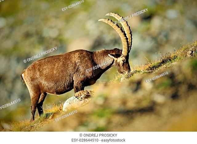 Antler Alpine Ibex, Capra ibex ibex, with rocks in background