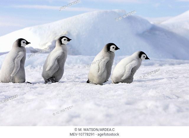 Emperor Penguins. 4 young ones walking in a line (Aptenodytes forsteri)