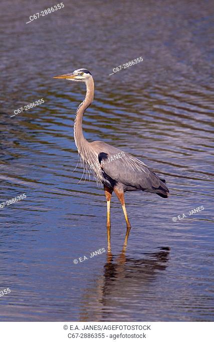 Great Blue Heron Ardea herodias Fort Myers beach Gulf Coast Florida USA