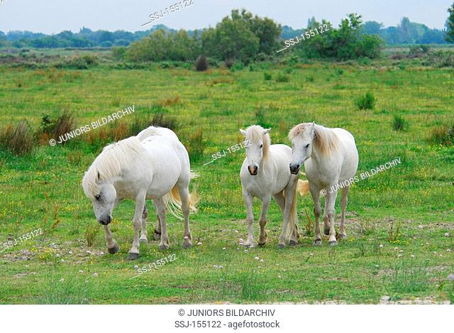 three Camargue horses - walking on the meadow