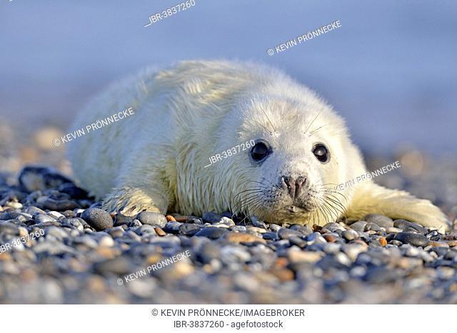 Grey Seal (Halichoerus grypus), howler or pup, Heligoland, Schleswig-Holstein, Germany