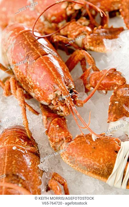 fresh cooked cardigan bay lobster seafood  for sale  in fishmonger's shop in Aberaeron Ceredigon Wales UK