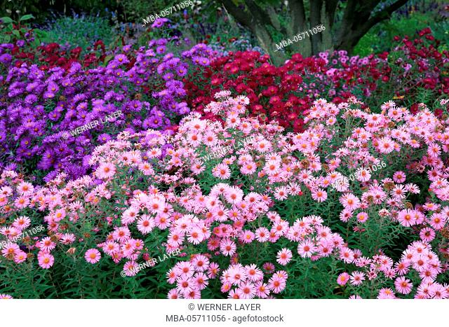 Garden in autumn and button aster