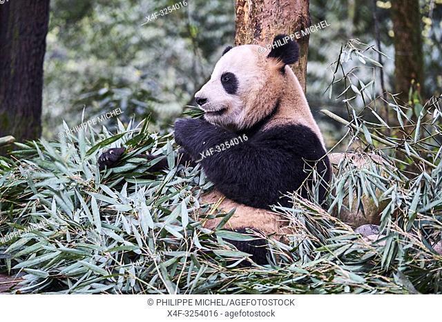 Chine, Province du Sichuan, Ya'an, base des panda de Bifengxia, Panda géant (Ailuropoda melanoleuca) / China, Sichuan province, Ya'an, Bifengxia Panda base