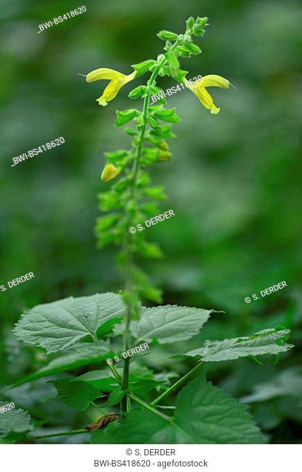 Hardy sage, Sticky sage (Salvia glutinosa), blooming, Germany, Bavaria, Oberbayern, Upper Bavaria, Murnauer Moos