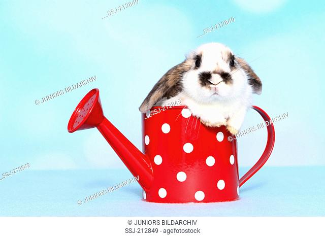 Lop-eared dwarf rabbit. Young in a red watering can with white polka dots. Studio picture against a blue background