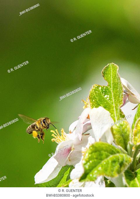 honey bee, hive bee (Apis mellifera mellifera), foraging pollen and nectar on apple blossoms, Germany