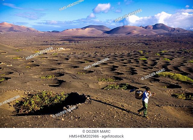 Spain, Canary Islands, Lanzarote Island, Biosphere reserve, La Geria, peasant working in the vineyards growing on volcanic ash surrounded with law walls