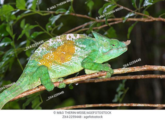 Parson's chameleon (Calumma parsonii), Andasibe-Mantadia National Park, Madagascar