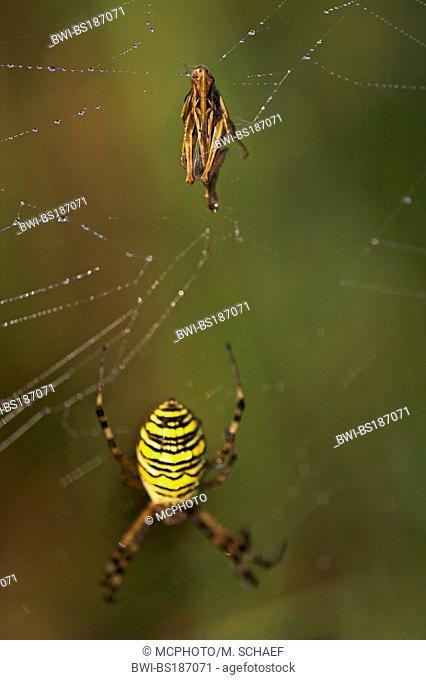 black-and-yellow argiope, black-and-yellow garden spider (Argiope bruennichi), in spiderweb with prey, Germany, Rhineland-Palatinate