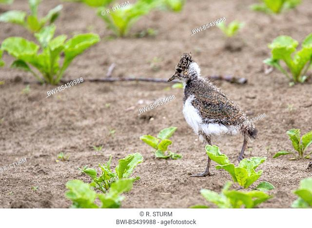 northern lapwing (Vanellus vanellus), squeaker on a field, Germany, Bavaria