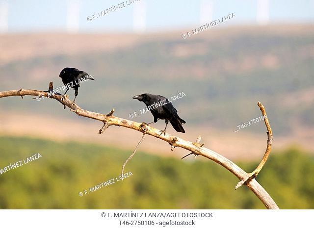Common ravens (Corvus corax), Sierra de Guadarrama, Madrid province, Spain