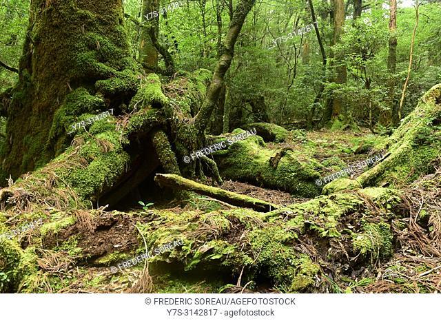 Lush rainforest along the Shiratani Unsuikyo trail on the southern island of Yakushima,Japan,Asia
