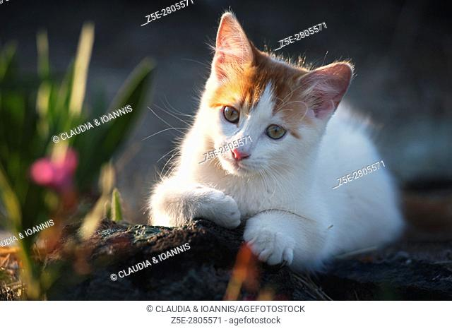 White and red kitten lying on a rock in the garden and looking at camera