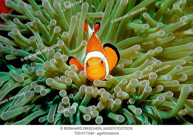 Clown anemonefish, Clownfish, Amphiprion ocellaris. Borneo, Sipadan, Pacific ocean, Celebes Sea. Malaysia