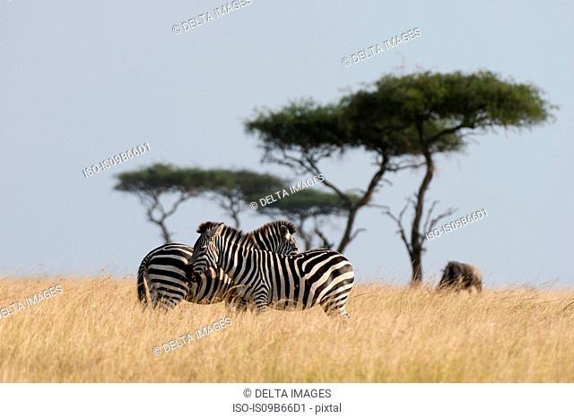 Grant's zebra (Equus burchellii boehmi), Masai Mara National Reserve, Kenya, Africa