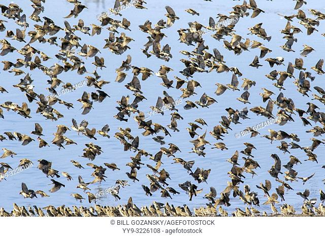 Large flock of red-billed quelea (Quelea quelea) in flight - at Chudob Waterhole - Etosha National Park, Namibia, Africa