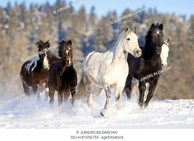Domestic horse. Mixed herd galloping on a snowy pasture. Germany