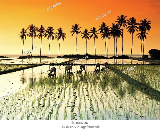 Travel, Indonesia, Bali, Agriculture, Rice paddy field workers at sunset, Kali Buk Buk, View with palms
