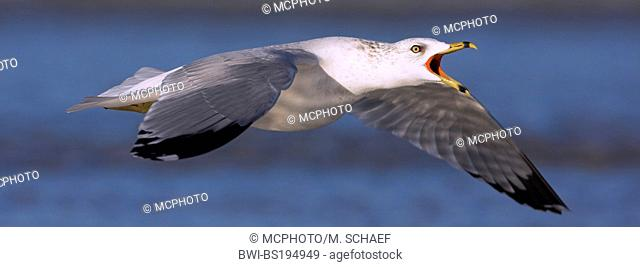 ring-billed gull (Larus delawarensis), calls flying, USA, Florida