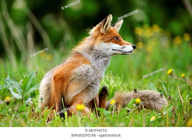 red fox (Vulpes vulpes), sitting in a dandelion meadow, Norway