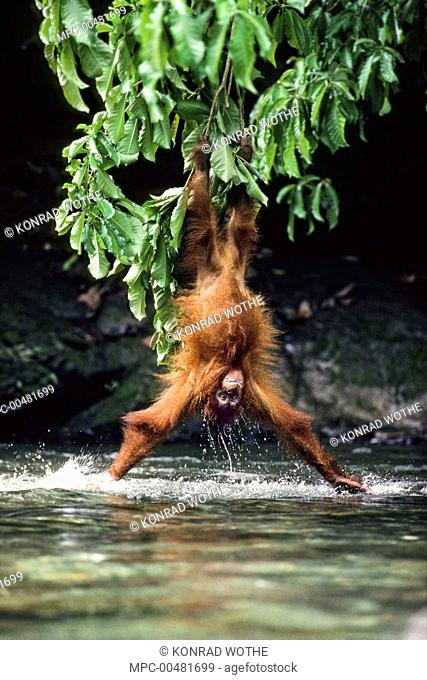Sumatran Orangutan (Pongo abelii) splashing water while hanging from branch, Bohorok River, Gunung Leuser National Park, Sumatra