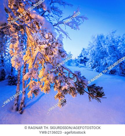 Snow covered trees in extreme cold temperatures, Lapland, Sweden
