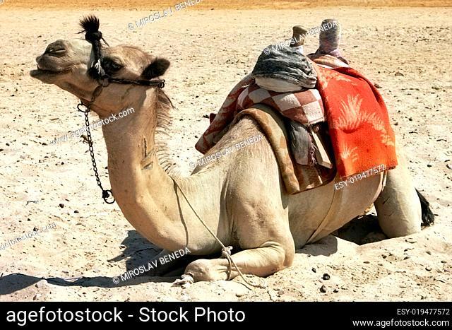 alone sitting camel in the desert