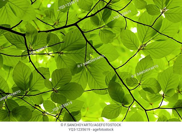 Spring beech leaves. Monte Cerredo, Castro Urdiales, Cantabria, Spain