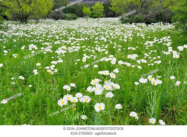 Flowering prickly poppies in a field with spring mesquite trees, Willow City Loop, Gillespie County, Texas, USA
