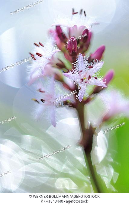 Bogbean/Water Trefoil (Menyanthes trifoliata), Norway