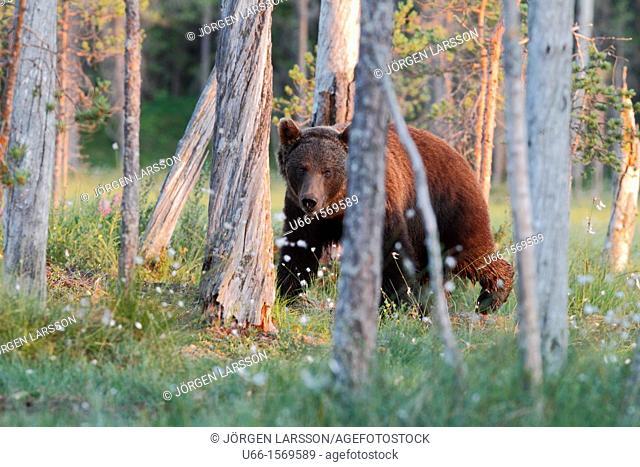 Brown Bear (Ursus arctos), Kuhmo Finland Sweden