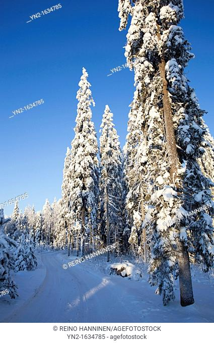 Snowy spruce, picea abies, trees and a byroad at Winter  Location Suonenjoki Finland Scandinavia Europe EU