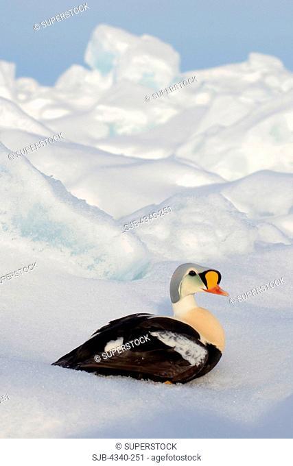 King Eider Duck on Pack Ice