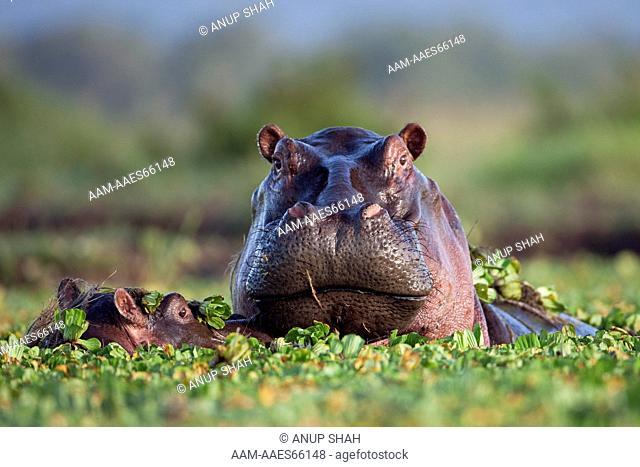 Hippopotamus female and calf submerged in lily covered pool (Hippopotamus amphibius). Maasai Mara National Reserve, Kenya. Feb 2010