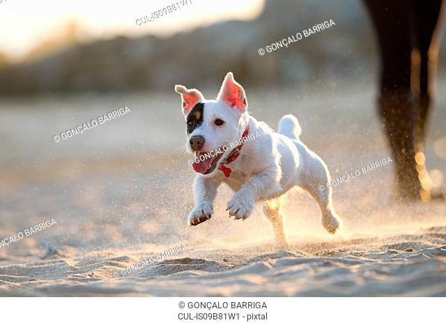 Jack russell running on beach