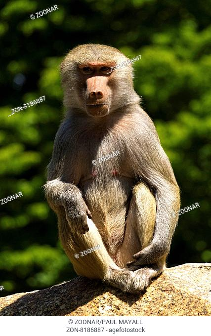 Baboon (Papio hamadryas) Female, sitting on rock, Hellabrunn Zoo, Munich, Upper Bavaria, Germany, Europe