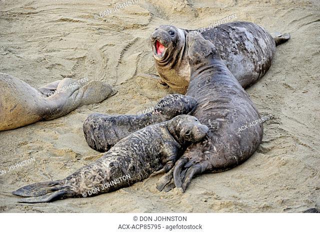 Northern elephant seal (Mirounga angustirostris) Nursing pup, San Simeon, Piedras Blancas Rookery, California, USA