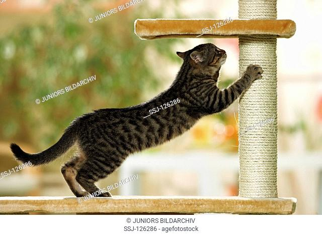 domestic cat on scratching post restrictions:Tierratgeber-Bücher / animal guidebooks