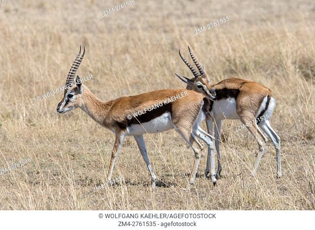A group of bachelor Thomson's gazelles (Eudorcas thomsonii) in the grassland of the Masai Mara National Reserve in Kenya