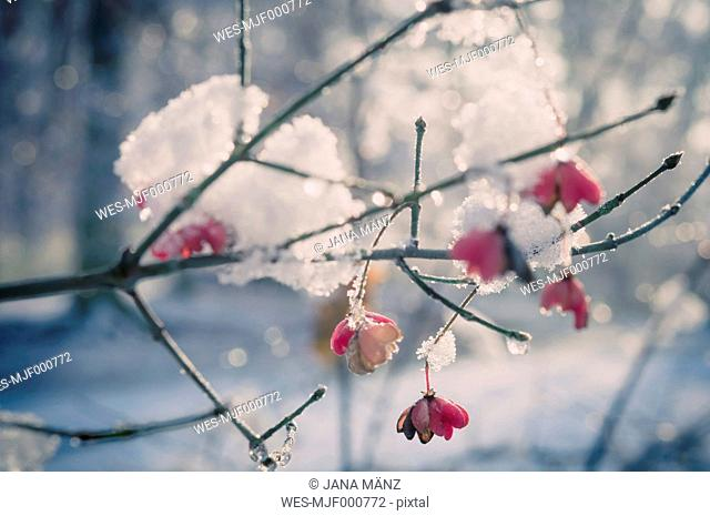 Snow covered spindle tree (European Evonymus), close-up