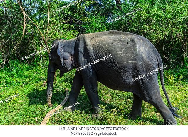 Elephants, Yala National Park, Southern Province, Sri Lanka