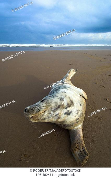 Grey Seal (Halichoerus grypus), pup on beach, Donna Nook National Nature Reserve, England. UK