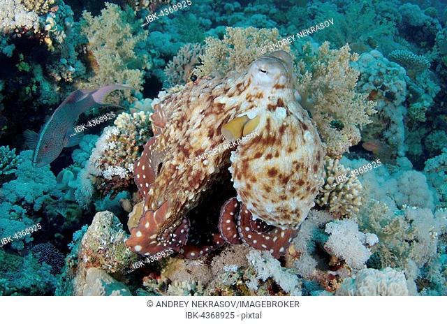 Reef Octopus, big blue octopus, day octopus and Cyane's octopus (Octopus Cyaneus) Red Sea, Egypt, Africa, Red Sea, Egypt